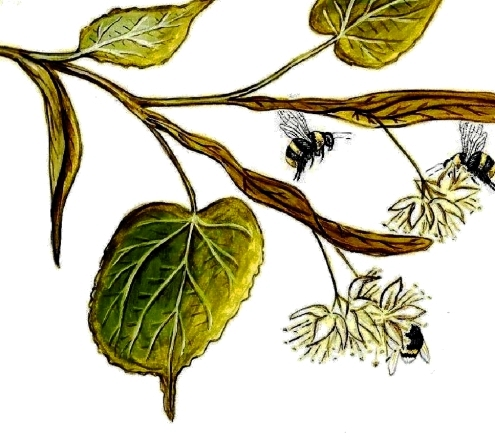 Linden Branch with Bees