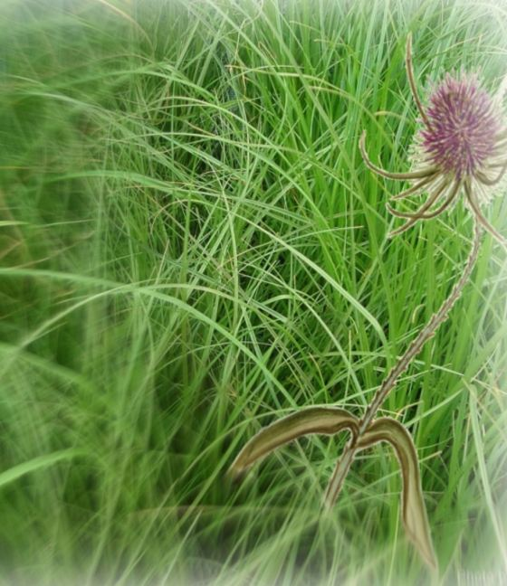 Grass and Teasel cropped