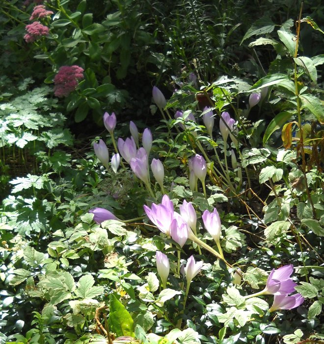 Autumn Crocus Cropped 2